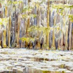 Cypress- Cado